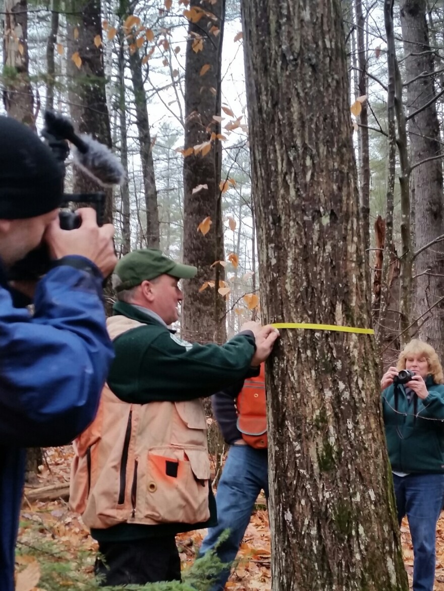 Shane Duigan of the Maine Forest Service takes measurements of the chestnut as members of the media look on.