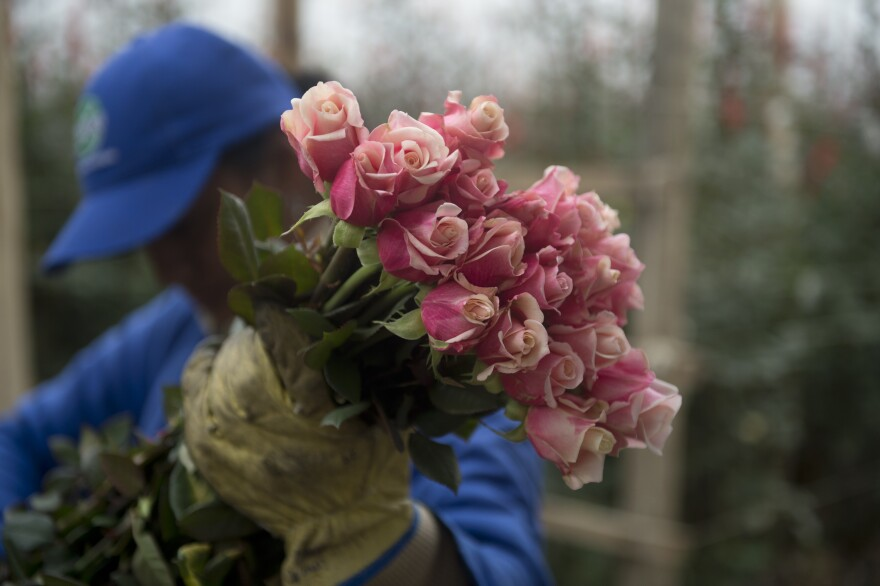 A worker selects roses at a farm in Nemocon, Colombia on February 2, 2015.