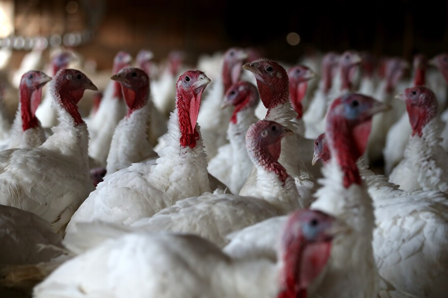 Turkeys sit in a barn in Sonoma, Calif. An estimated 46 million turkeys are cooked and eaten during Thanksgiving meals in the U.S.