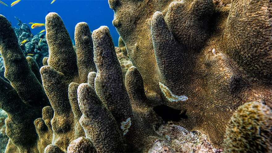 pillar_coral_disease_keys_nick_zachar_noaa_.jpg