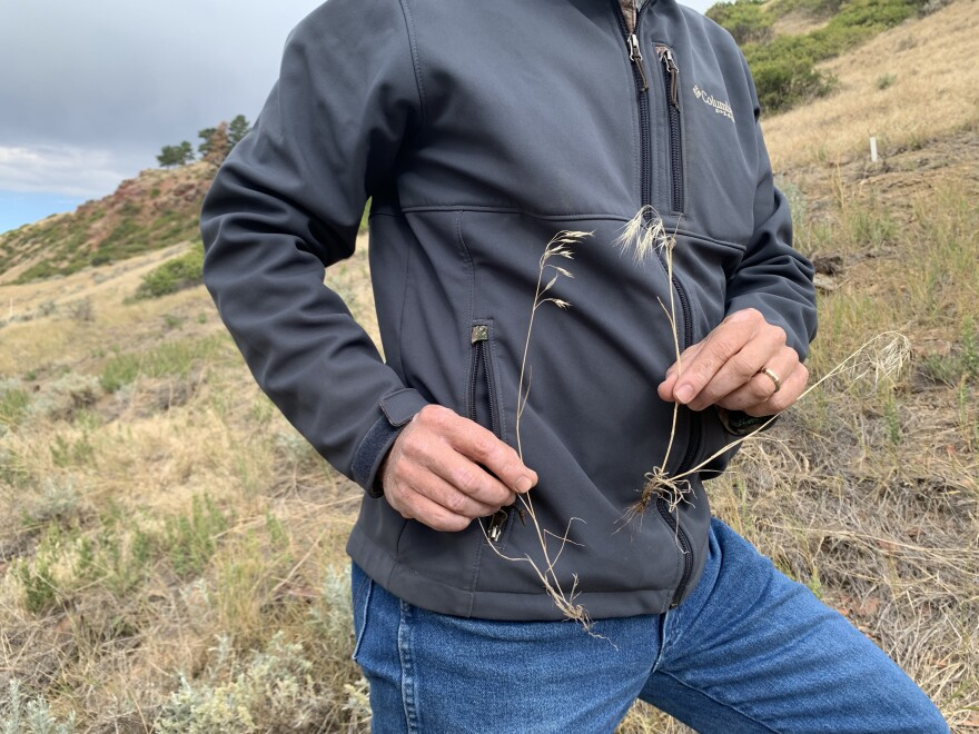 Brian Mealor holds up a sprig of Japanese Brome and Cheatgrass to compare how similar both invasive species are.