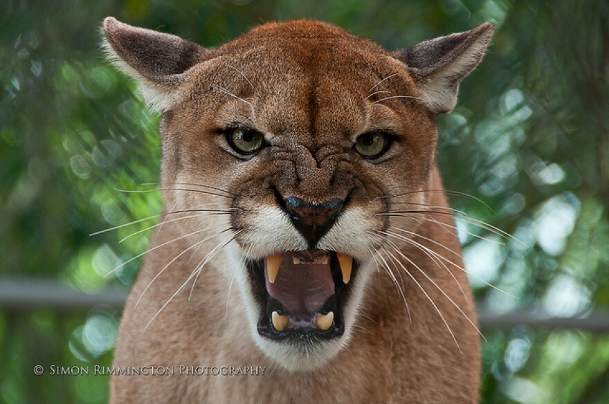 "The U.S. Fish and Wildlife Service is undergoing a periodic review of the Florida Panther and some activists are concerned the iconic predator will lose it's ""endangered"" status."
