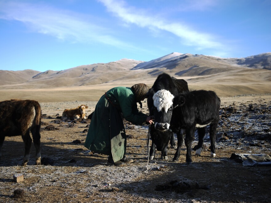 "Lkhagvajav Bish unties one of her cows. Bish's herd has dwindled since she began raising cashmere goats. She used to have 20 goats; now she has 150. ""They're just taking over,"" she says."