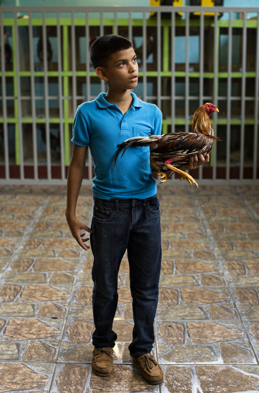 At the Gallera Borinquén, José Yadiel Torres, 10, likes to ask the owners of defeated roosters whether he can take them home to heal them, and get them ready to fight again.