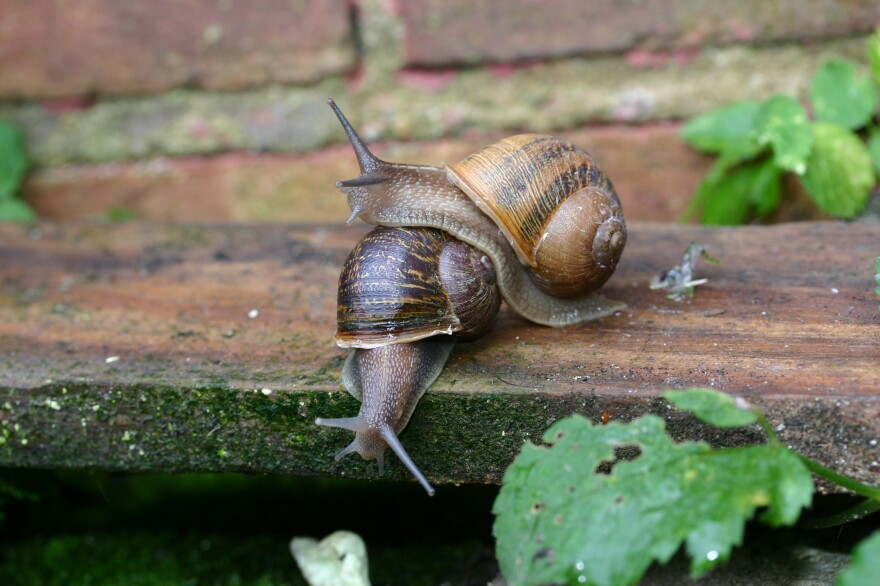 "The two snails have been observed ""flirting,"" scientists say."