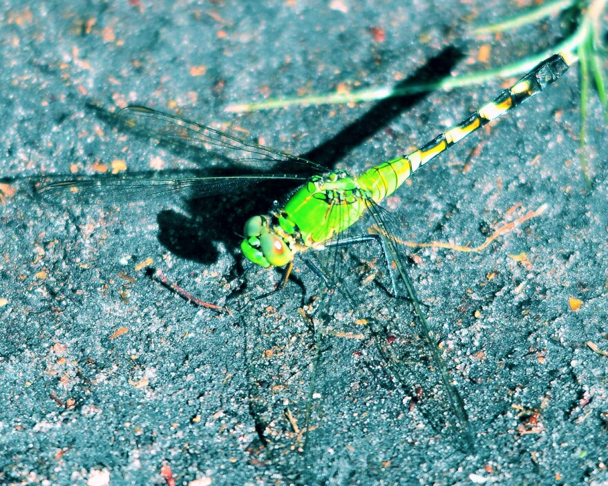 Dragonfly_0.JPG