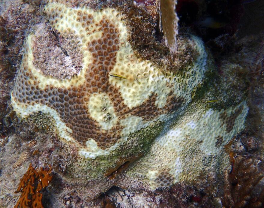 stony_coral_disease.jpg