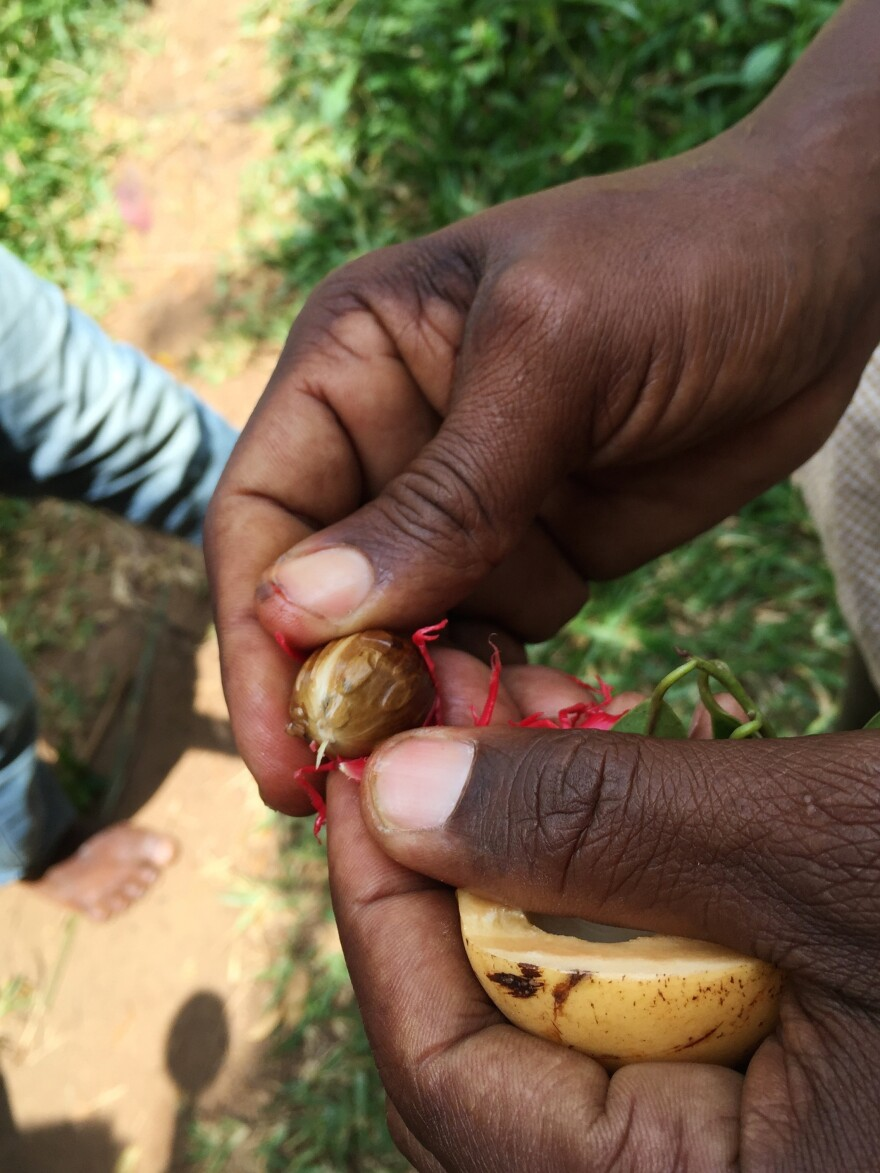 A Zanzibar farmer holds a nutmeg, which is used in cake, coffee and nutmeg porridge – and is also an alleged aphrodisiac.