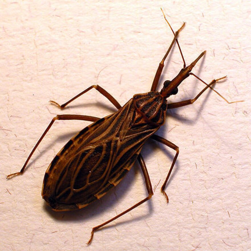 Don't let the name fool you. The kissing bug, or <em>Rhodnius</em> <em>prolixus,</em> isn't your friend. The insect transmits the Chagas parasite when it bites someone's face.