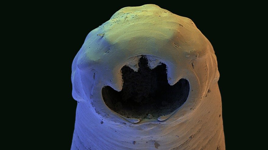 The Old World hookworm, <em>Ancylostoma duodenale</em>, an intestinal parasite. Adult worms feed on the human intestinal lining, leading to blood loss and anemia.