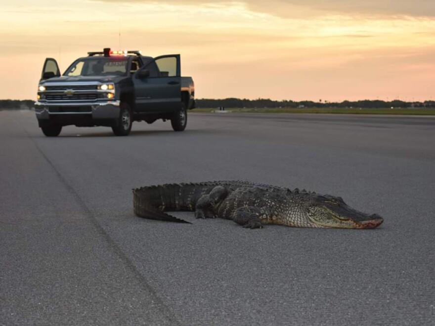 Alligator on a runway at MacDill Airforce Base