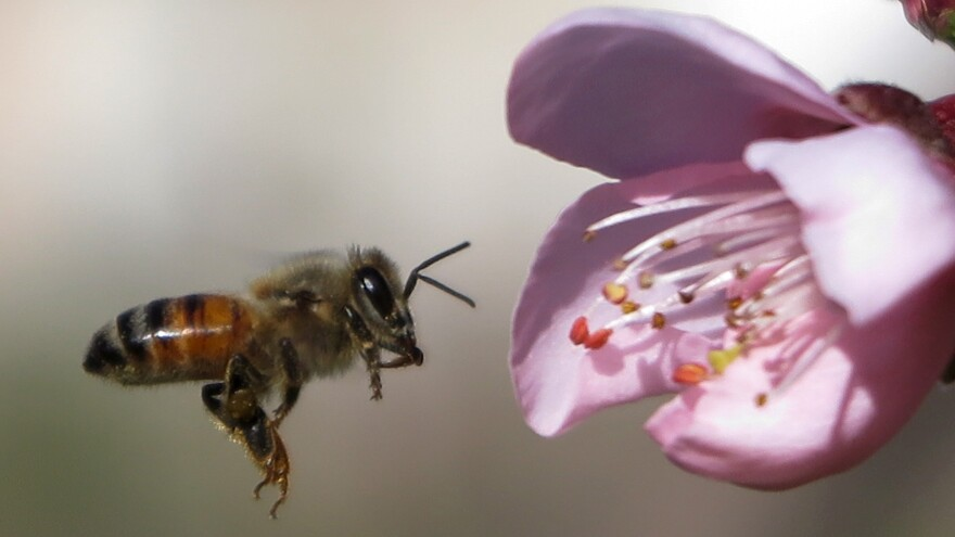 """""""Bee health remains of paramount importance for me,"""" said the EU's Commissioner for Health and Food Safety, after the EU moved to ban neonicotinoid insecticides everywhere except greenhouses. Here, a bee hovers near a peach flower."""