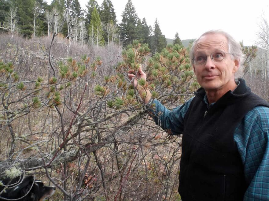 David Mattson is just inside the Absaroka-Beartooth wilderness north of YNP, holding a limber pine, one of several pine species threatened by climate change which grizzlies use as a food source. File photo.