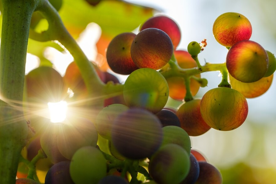 wine_grapes_backlit_by_sun.jpg