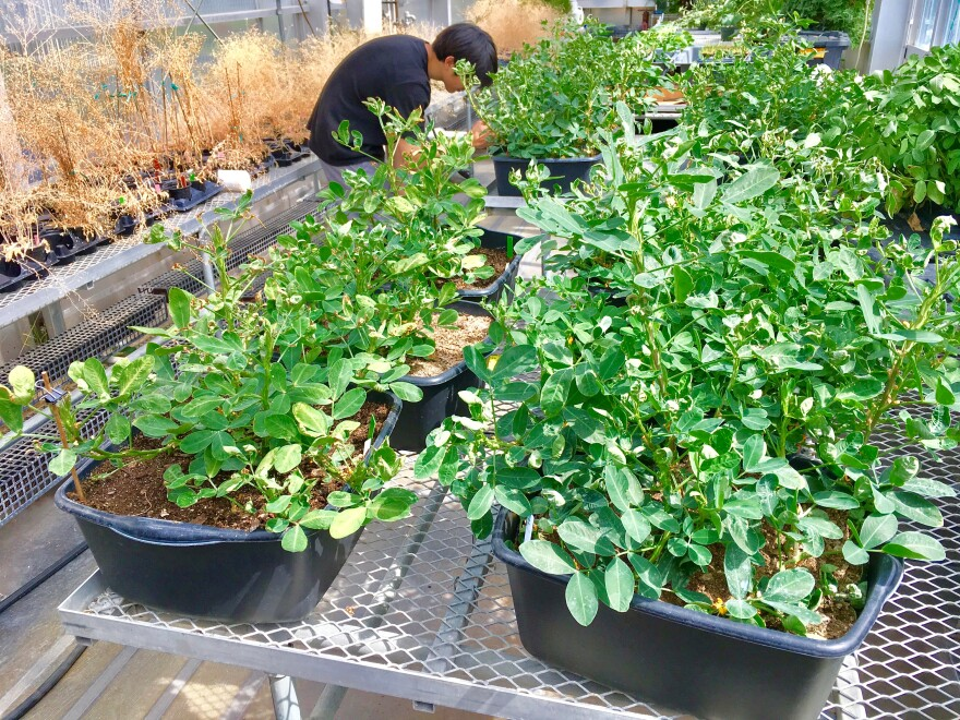 Peanut plants at a greenhouse at Washington University in St. Louis fertilized by conventional and nanotechnology-based fertilizers.