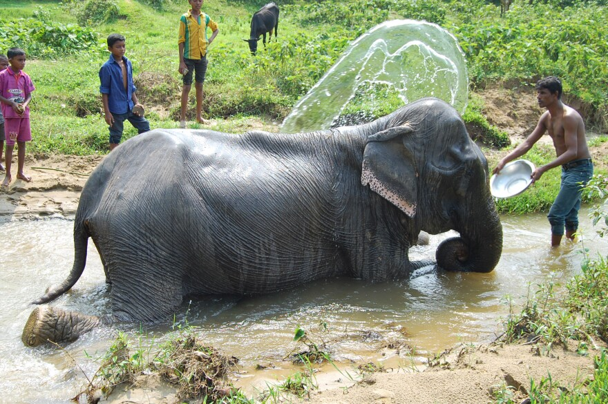 An Asian elephant in Bangladesh. The males can weigh up to 12,000 pounds.