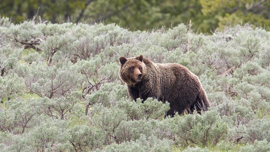 Photo of adult grizzly bear in Yellowstone.