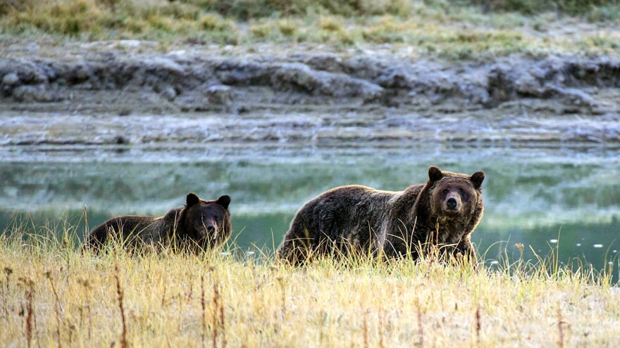 A grizzly mother and her cub in Wyoming's Yellowstone National Park.