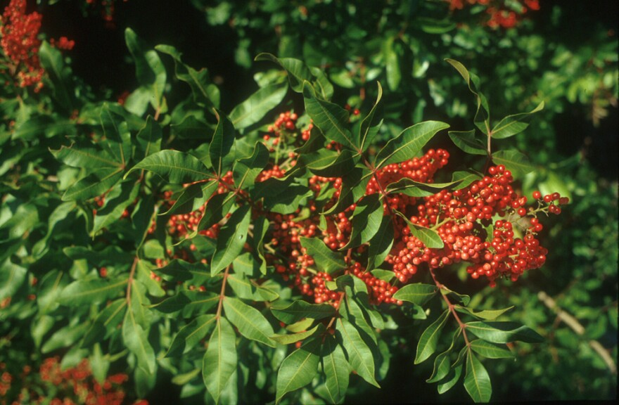 UF-IFAS said the Brazilian peppertree is Florida's most serious invasive weed, costing the state more than $4.7 million every year to control. A press release said more than 700,000 of Florida's natural areas, ranchlands and highway roadsides are consumed