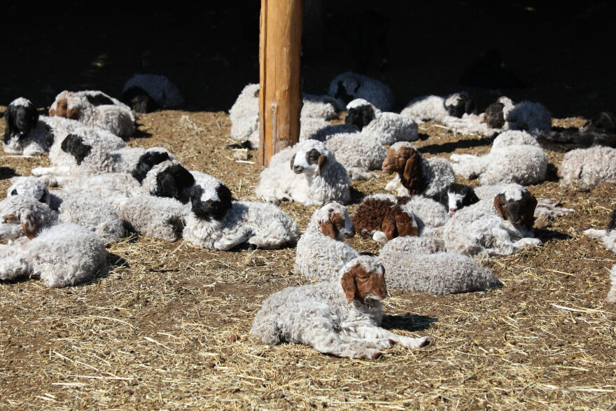 Newborn lambs rest in a pen, where they can stay warm and well-fed. Nergui says the snow this winter was troublesome but did not significantly affect the herd.