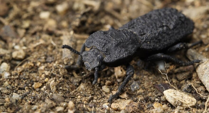 A diabolical ironclad beetle