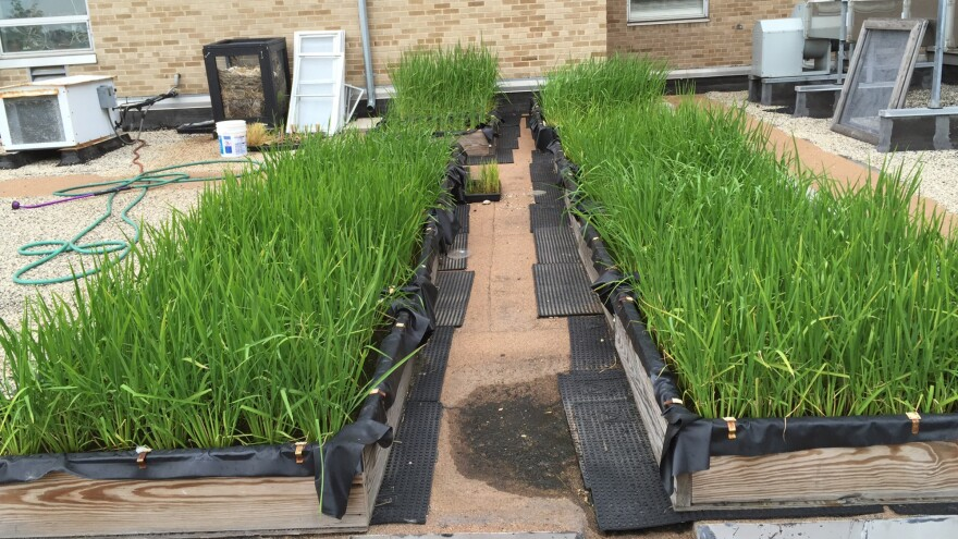 Marquette University scientist Michael Schläppi grows rice in paddies on his lab's rooftop.