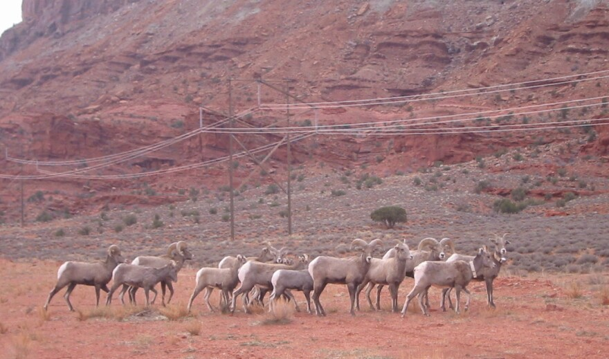 A herd of bighorn sheep shown in a canyon with power lines behind them