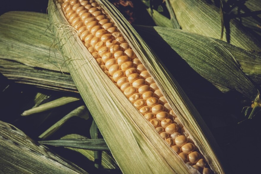 corn_in_husk.jpg
