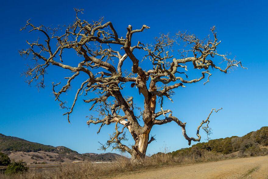 dead_tree_at_rush_creek_open_space_preserve__novato.jpg
