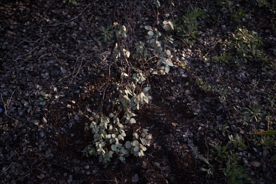 Manzanita, a shrub found all over California, can be highly combustible. In determining fire risk throughout the year, Cal Fire measures the moisture content of different parts of various vegetation, including manzanita.
