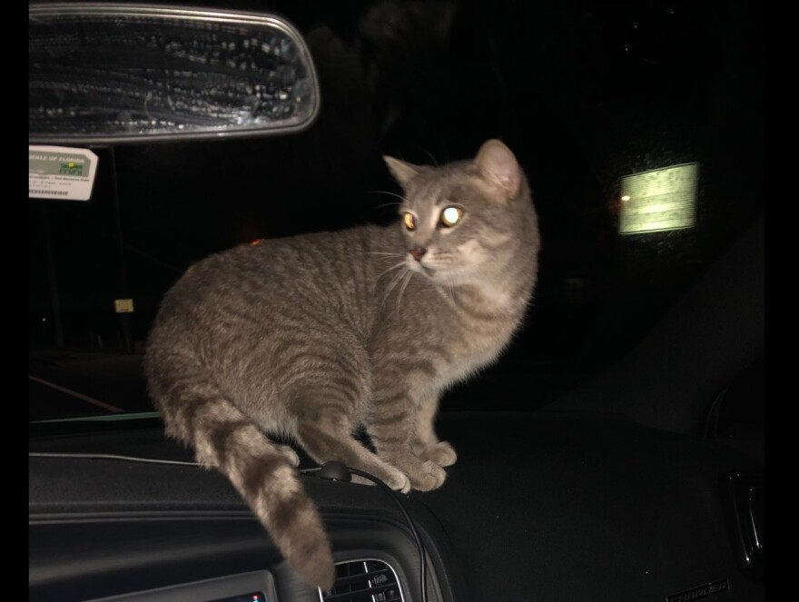 Cat on the dashboard of a sheriff's cruiser