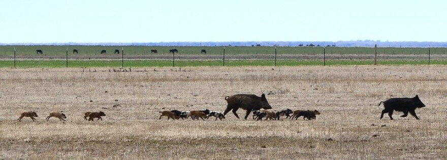 A feral hog sow with sixteen piglets