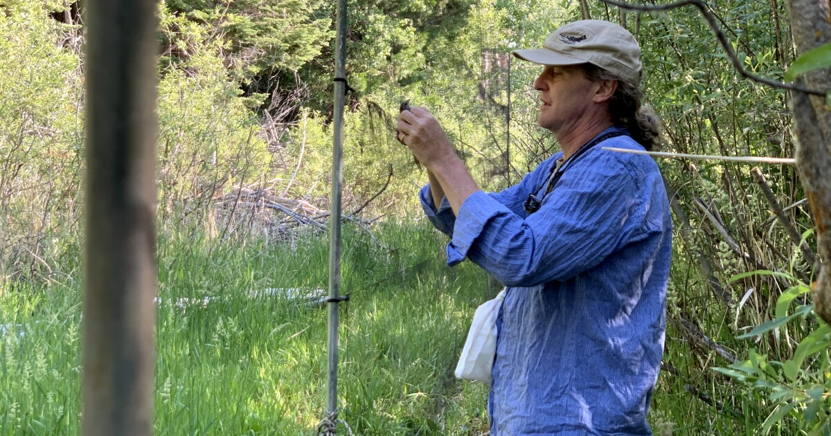 Out Of The Spotlight, Thousands Of Birds Face A Dry Year At Klamath Basin Refuges