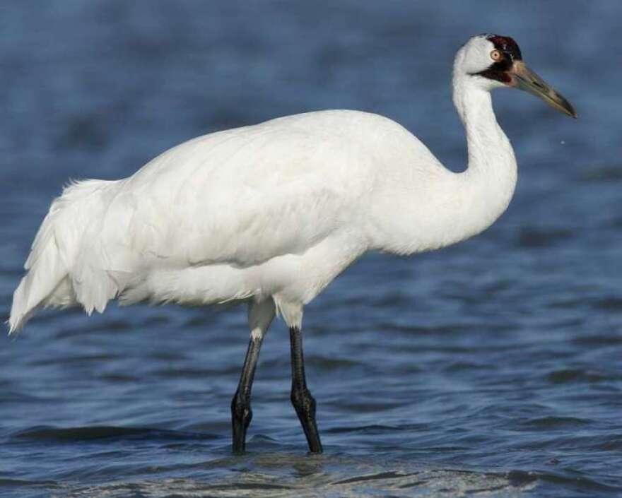 whooping-crane-via-audubon.jpg