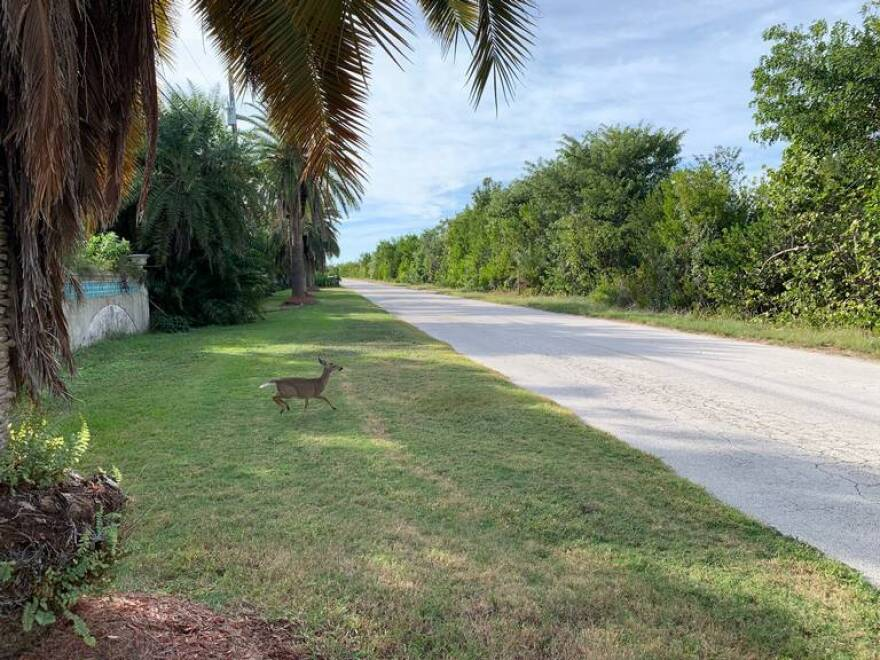 Miami Key Deer on side of the road