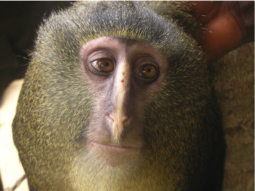 Researchers have identified a new species of African monkey, locally known as the lesula.
