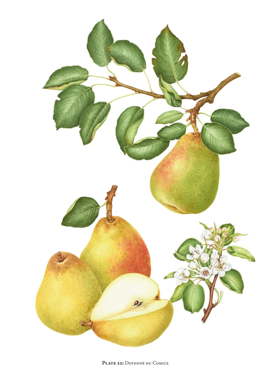 "The Doyenne du Comice pear is a ""pear of superlatives; grown all over the world in gardens and for market. Handsome, generous appearance with rich, luscious, very buttery, exquisitely textured, pale cream flesh,"" writes Morgan."