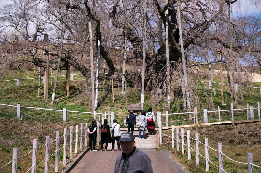 A trickle of tourists visits the Takizakura cherry tree on a sunny afternoon in March, before it bursts into bloom.