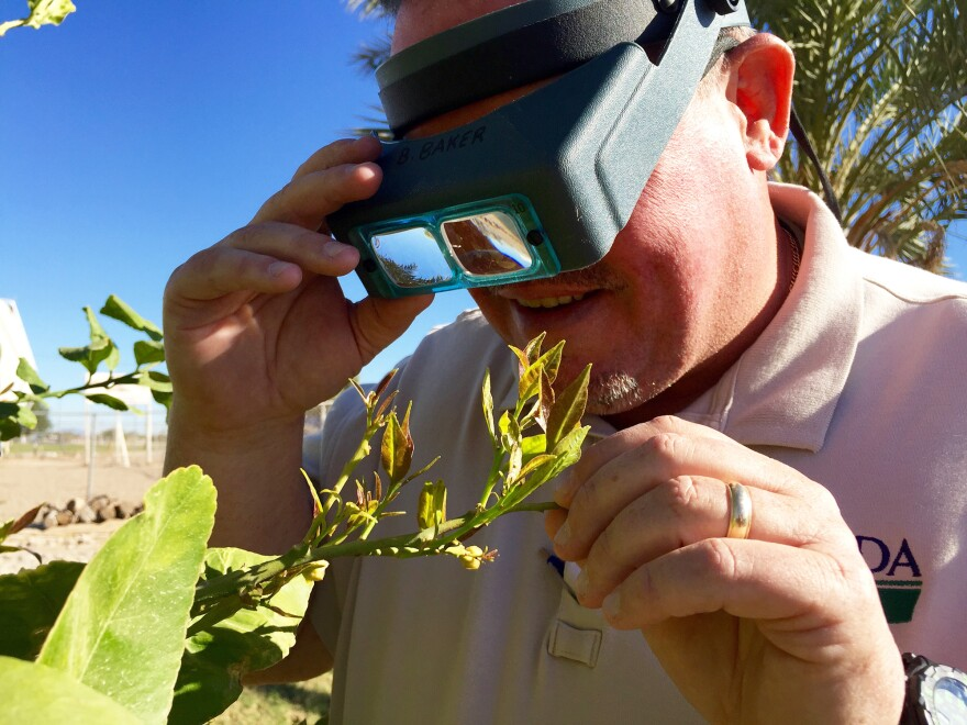 Bobby Baker, a technician with the U.S. Department of Agriculture, looks for the Asian citrus psyllid on a lemon tree in Yuma County, Ariz.