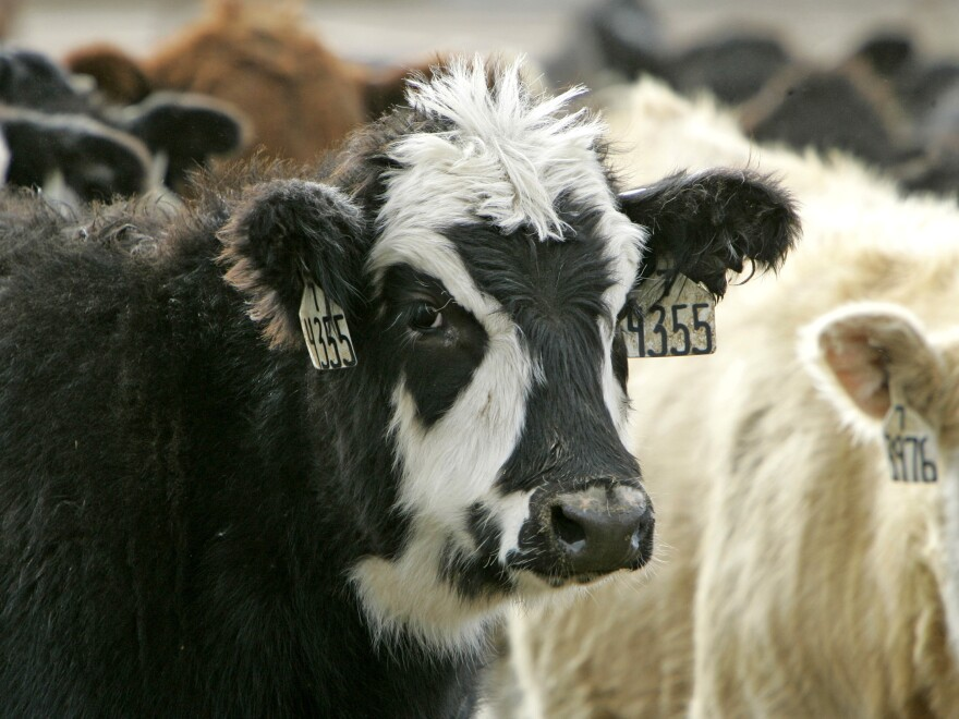 Cattle raised at the U.S. Meat Animal Research Center in Clay Center, Neb. A <em>New York Times</em> investigation of animal suffering at the federal research center has prompted a USDA review.