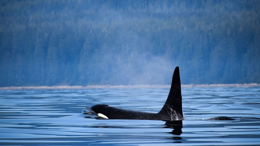 An orca surfaces near Vancouver Island, Canada. The country's Parliament has passed legislation banning the practice of breeding and holding dolphins, whales and porpoises in captivity.