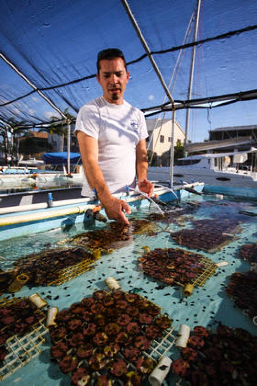Chris Page, a staff biologist at Mote Marine Laboratory, works in the land-based coral nursery on Summerland Key.