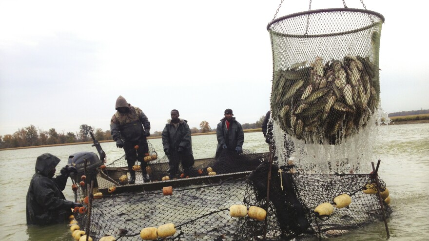 Workers gather catfish into large nets at a fish farm in Doddsville, Miss. The fish are placed in large tanks of cold water and shipped to a processing plant.