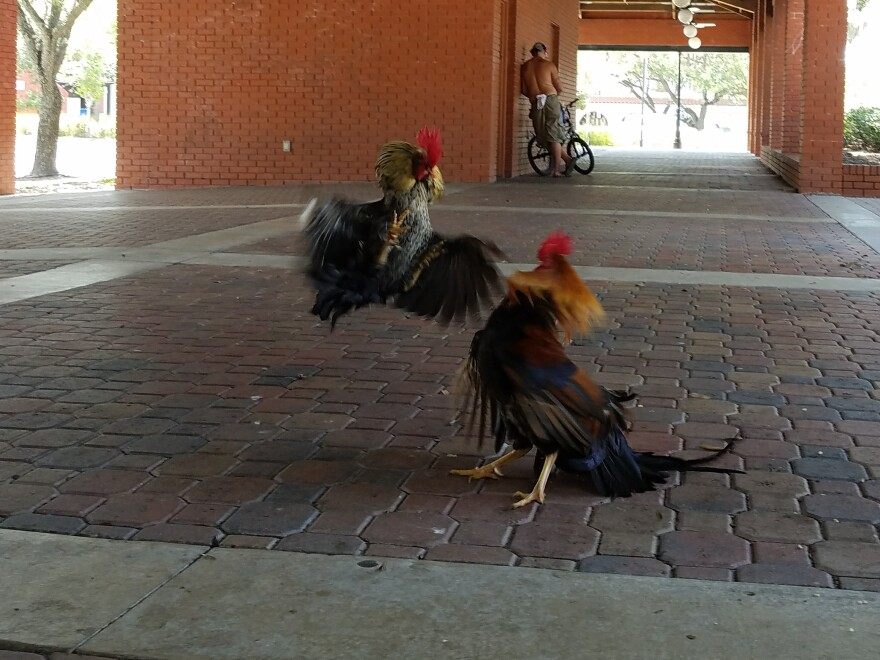 Two roosters square off for corn kernels--the food Dylan Breese of the Ybor Chickens Society uses to attract them to collect stool samples.