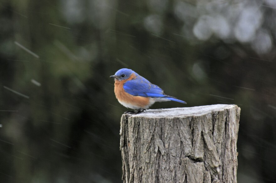 male_eastern_bluebird_bs17005_4-4.jpg