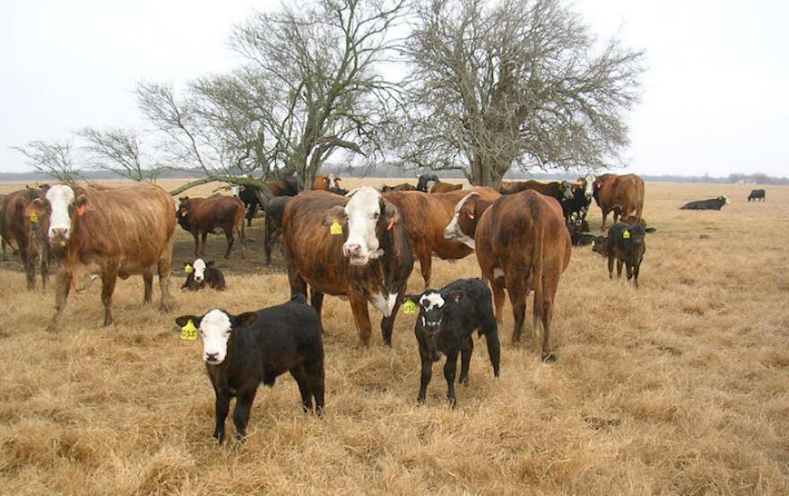 south_texas_cattle.jpg