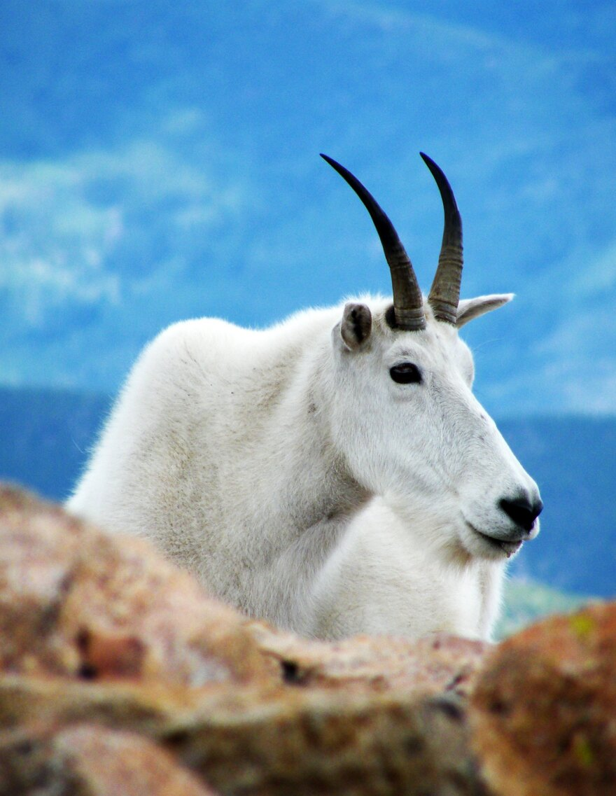 mountain_goat_mt_evans_2007_patrick_shannon_cc-by.jpg
