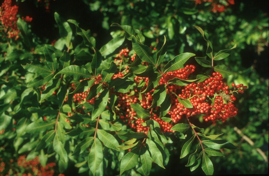 Brazilian peppertree, <em>Schinus terebinthifolia</em>, is a relative of poison ivy. It is one of the most damaging invasive weeds of agricultural and natural areas of Florida, Hawaii and Texas.