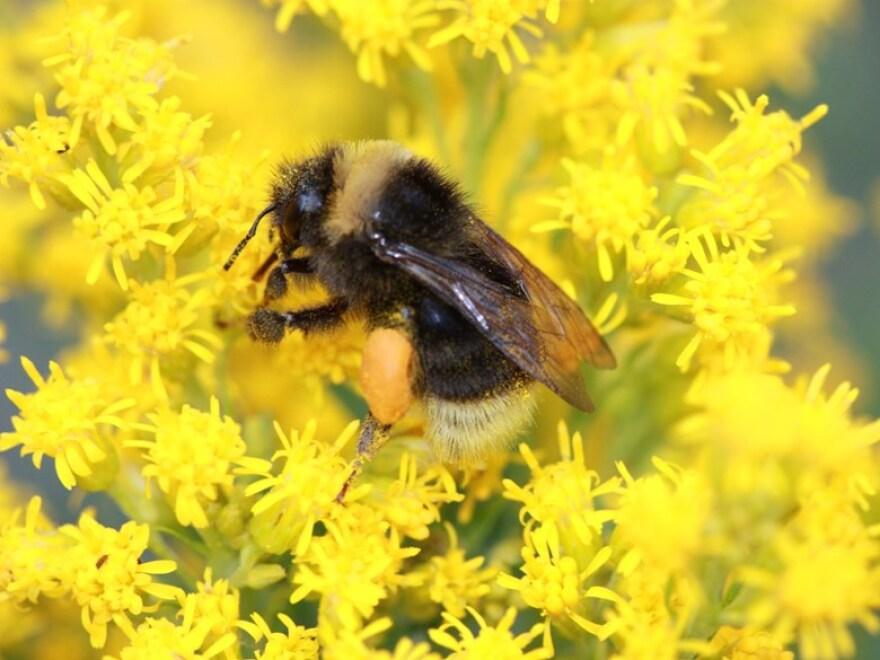 bumblebee_richard_hafield_xerces_society.jpg