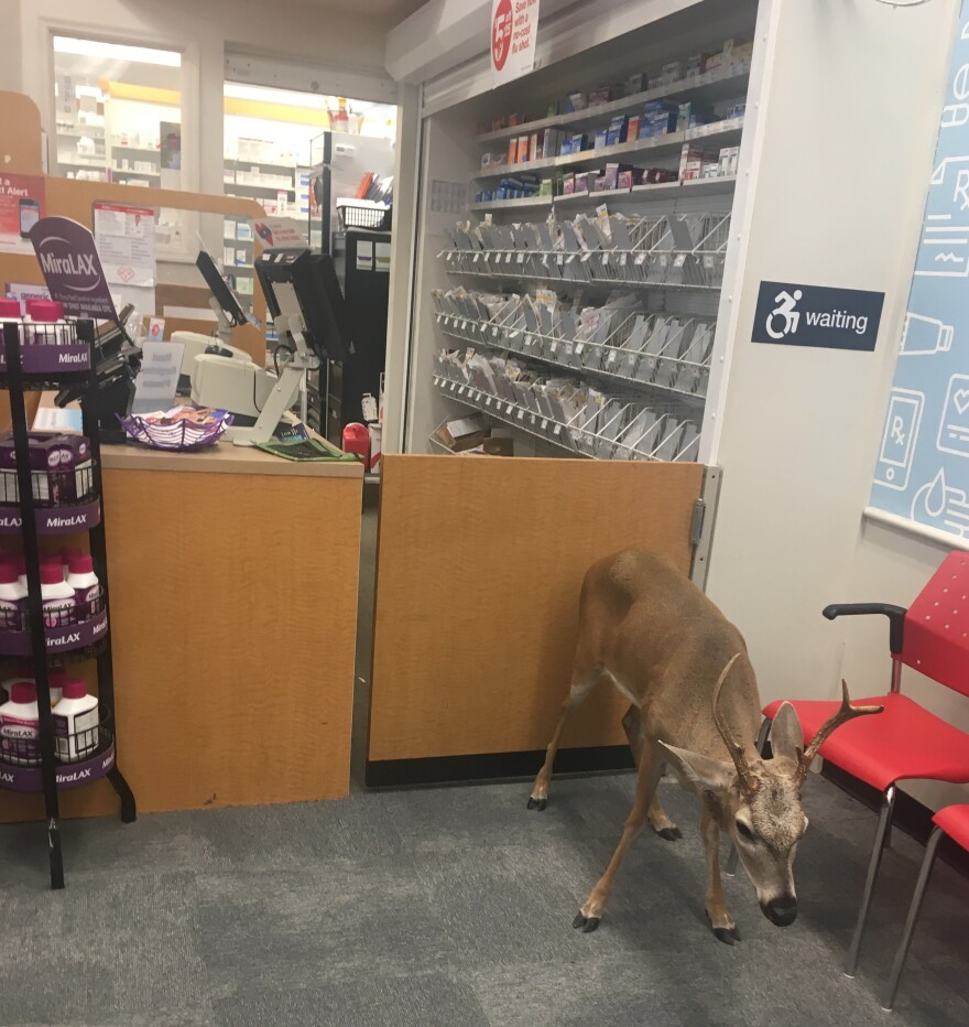 A Key deer buck repeatedly wandered into a CVS on Big Pine until it was finally tranquilized and relocated.